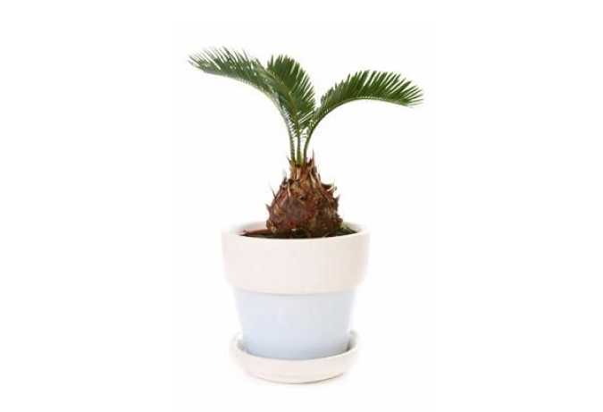 mini-potted-cycad-plant