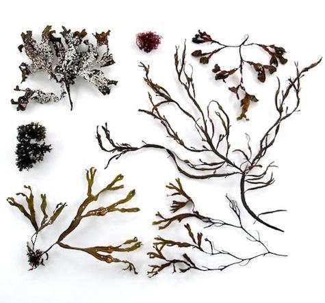quercus-seaweed