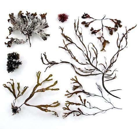 quercus-seaweed