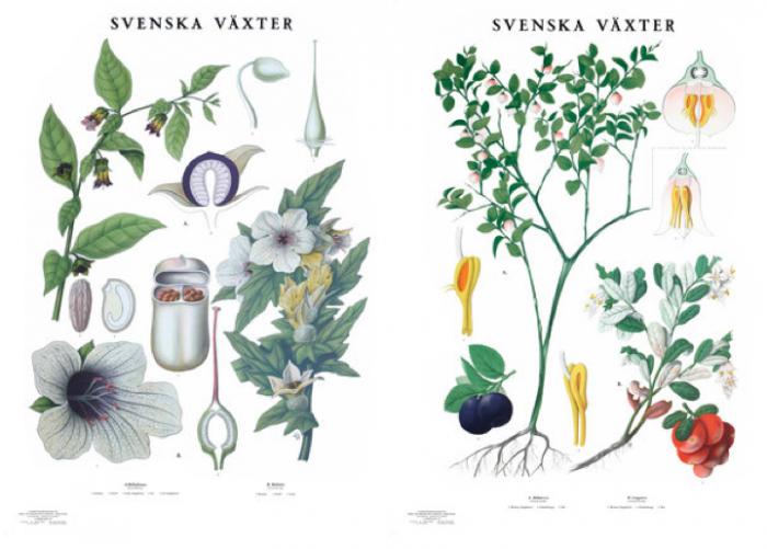 700_swedish-botanical-drawings-two-images