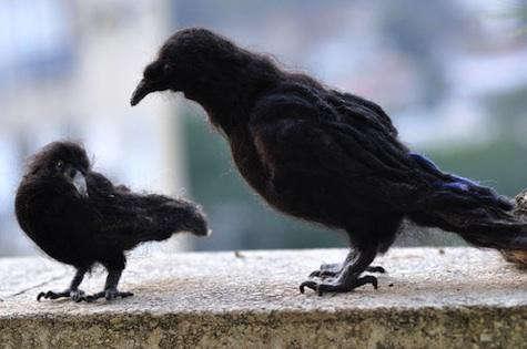 black-felt-crows-2