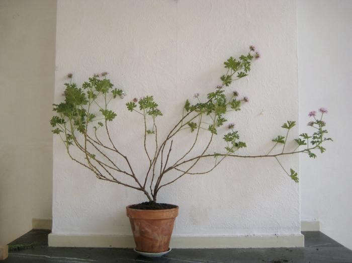 700_geranium-by-mieke