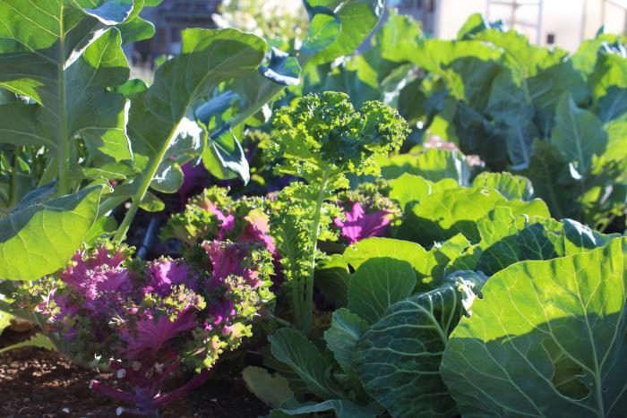 700_ornamental-cabbage