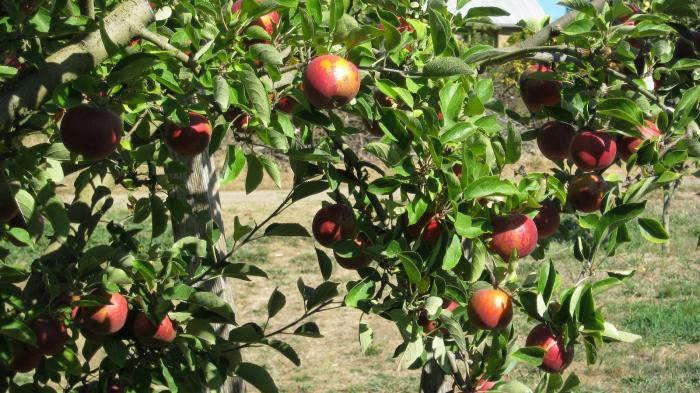 700_philo-apple-farm-12
