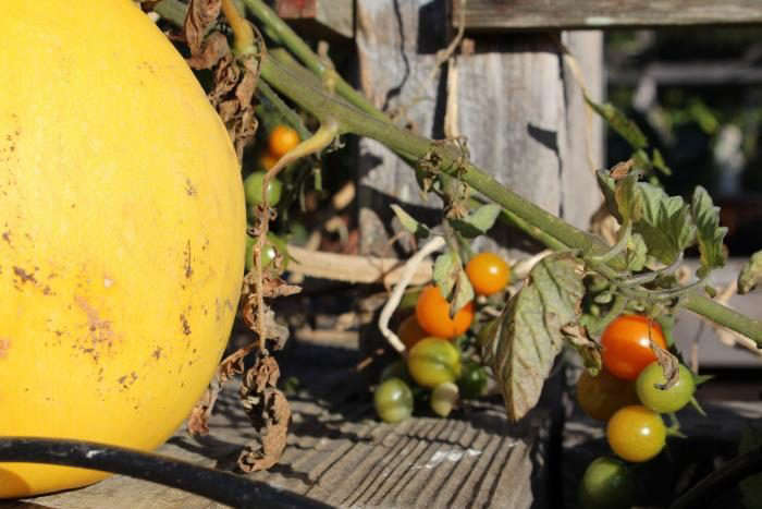 700_tomatoes-and-squash