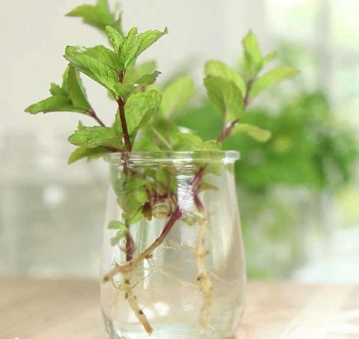 700_clone-herbs-2