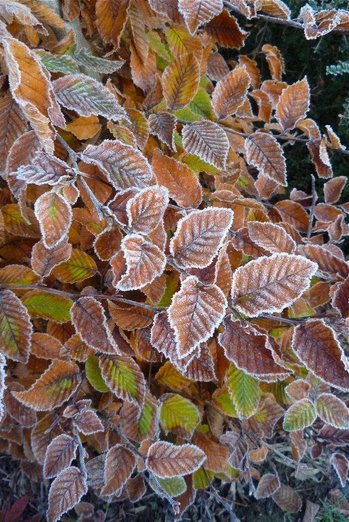 700_hornbeam-frost1