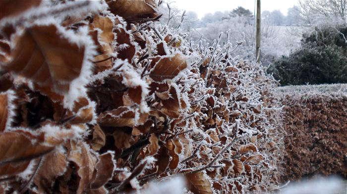 700_hornbeam-winter