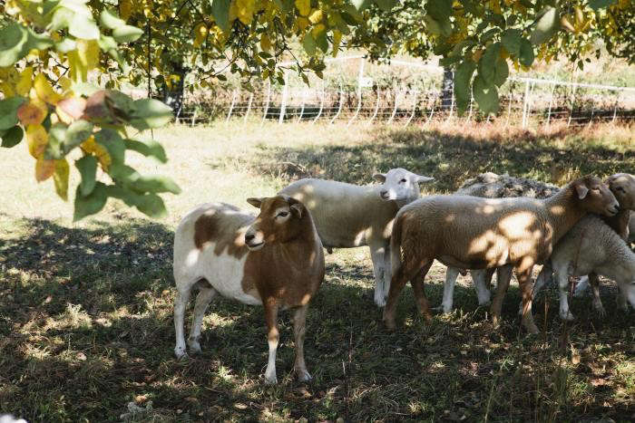 700_nicole-franzen-sheep-hudson