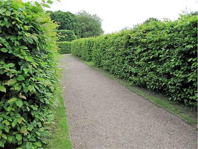 hornbeam-hedge