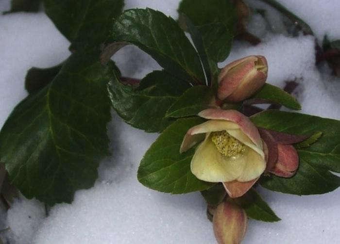 700_hellebore-cinnamon-snow