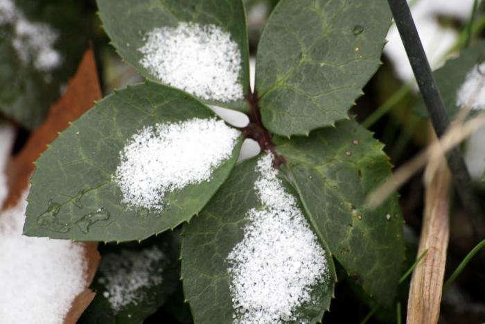 700_hellebore-leaves-in-snow
