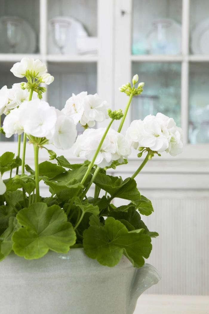 700_pelargoniums