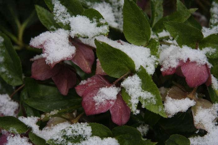 700_snowy-lenten-roses-at-easter