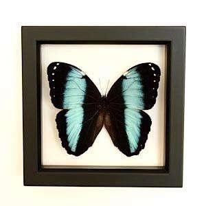 bugs-under-glass-morpho
