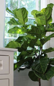 Michelle's Fiddle Leaf Fig/Gardenista