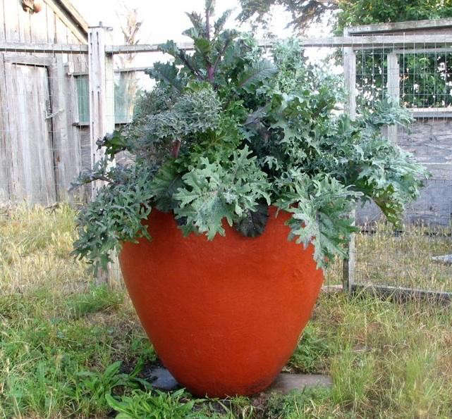 red-planter-kale
