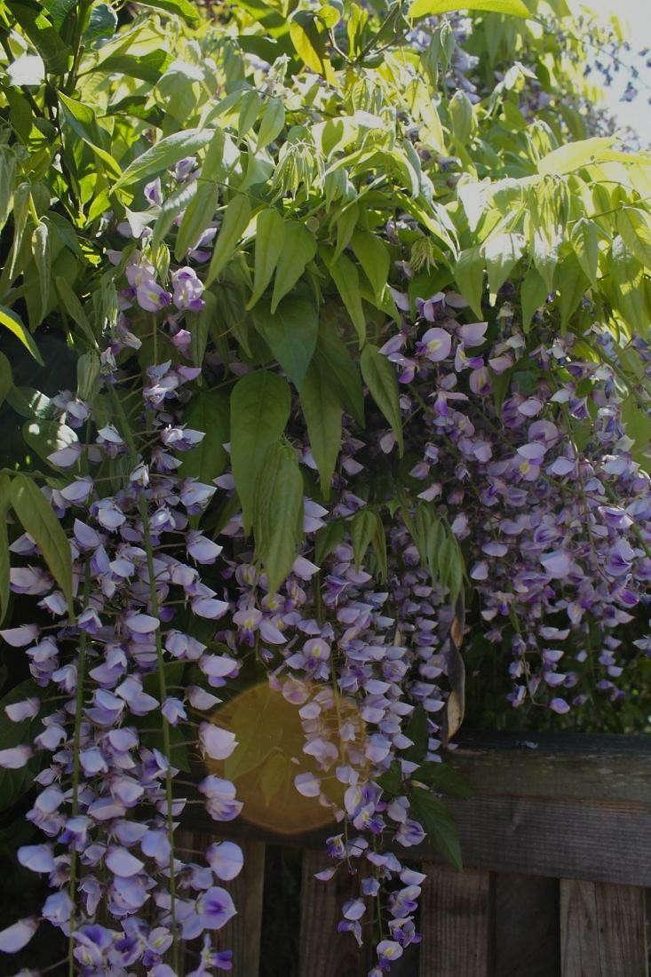 wisteria-in-bloom-fence-gardenista