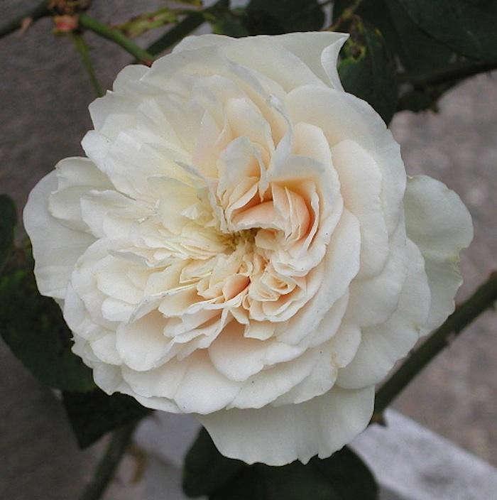 Climbing-Rose-Sombreuil-Huntington-Gardens