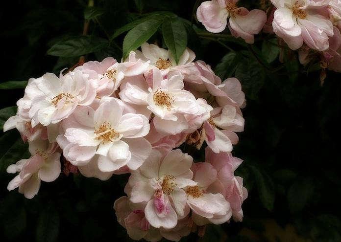 Renae-Climbing-Rose