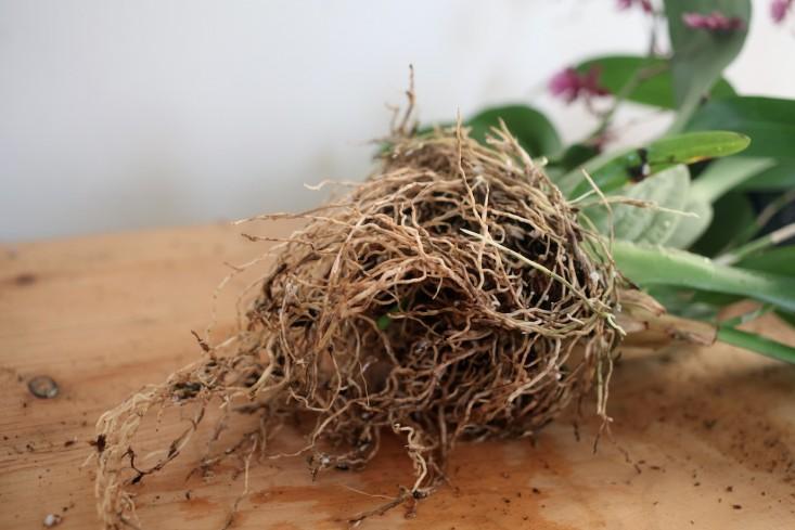 Sophia_Moreno_bunge_gardenista_orchid_DIY_roots