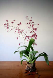 Hanging Orchid DIY | Gardenista