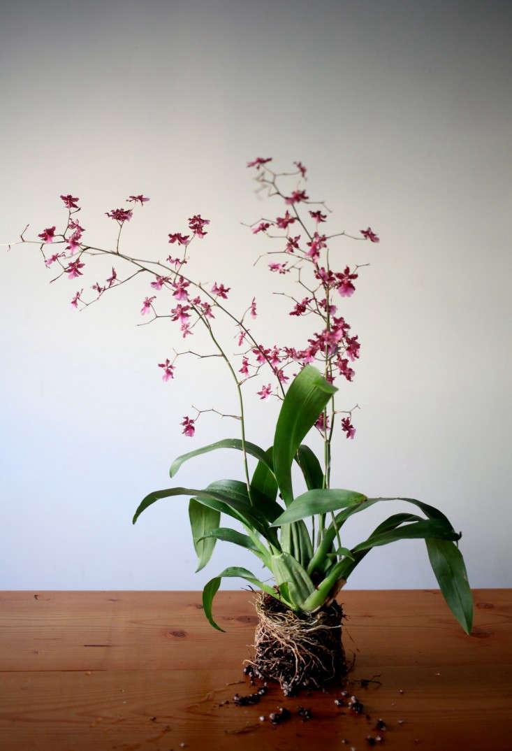 Sophia_moreno_bunge_gardenista_orchiddiy_oncidium