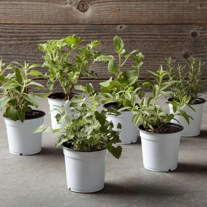Williams-Sonoma-fragrant-herb-collection-Gardenista
