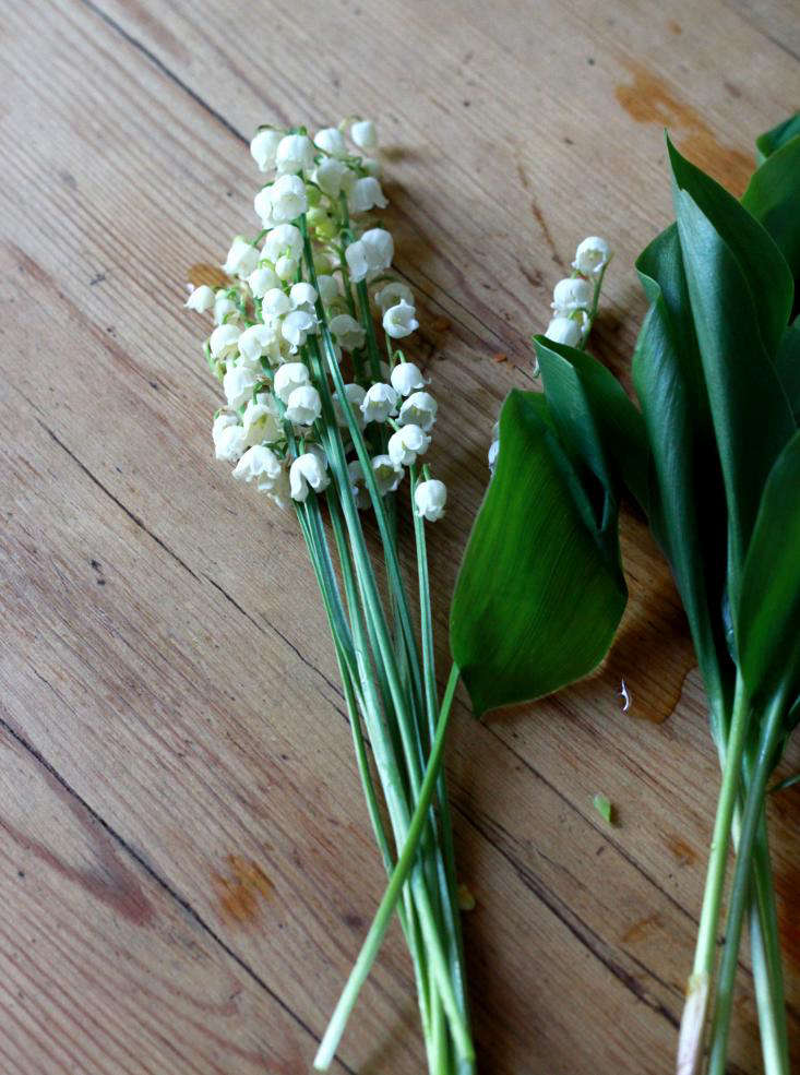 bunches of lily of the valley without leaves