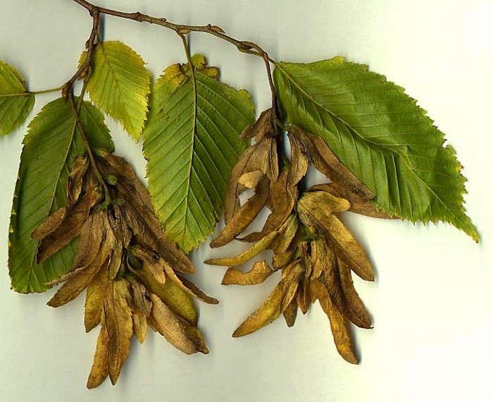 -seeds-hornbeam-gardenista
