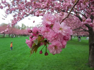 Cherry Blossom | Gardenista