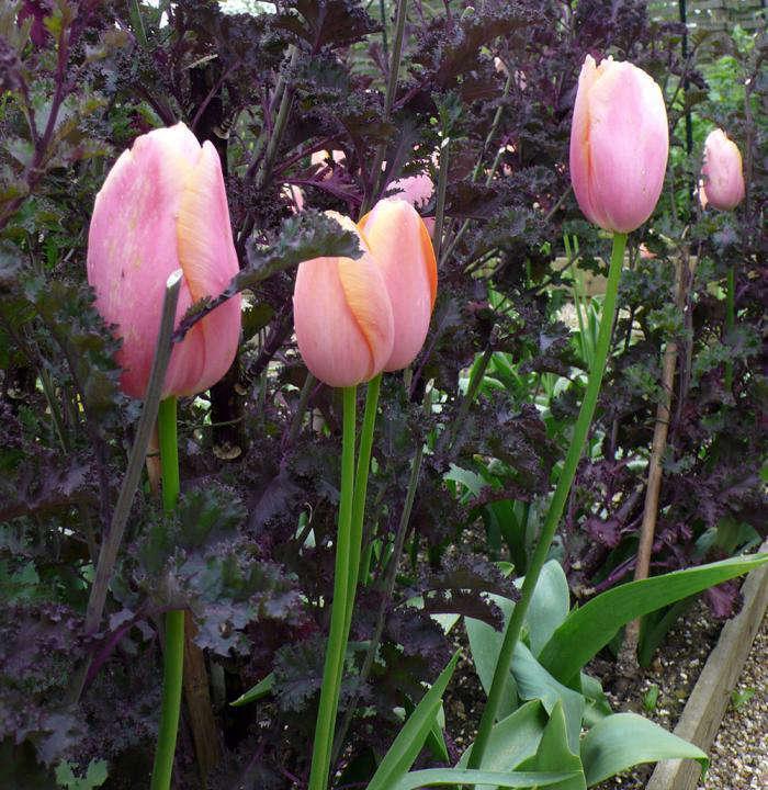 700_menton-tulip-sarah-raven