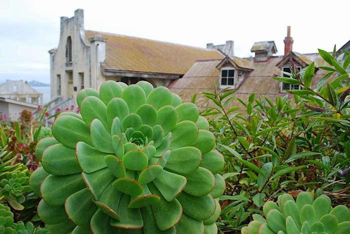 Alcatraz-Garden-Aeoniums-in-Chapel-Bed-Image-Shelegh-Fritz-Gardenista