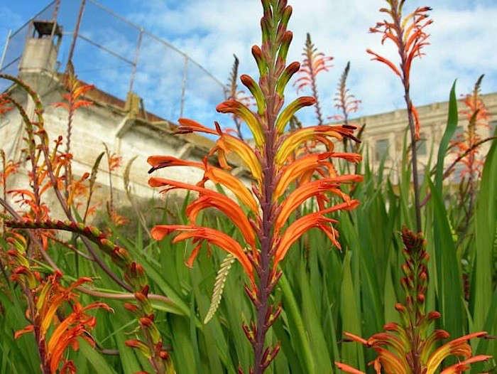 Alcatraz-Gardens-Chasmanthe-floribunda-Image-S-Fritz-Gardenista