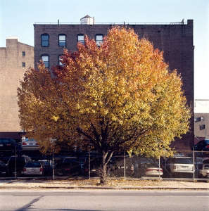 Orange and Yellow Tree Changing Color in Autumn in New York City, Gardenista