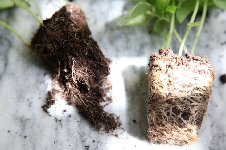 Basil with Roots Loosened and Basil Plug with Roots Packed Tight, Gardenista