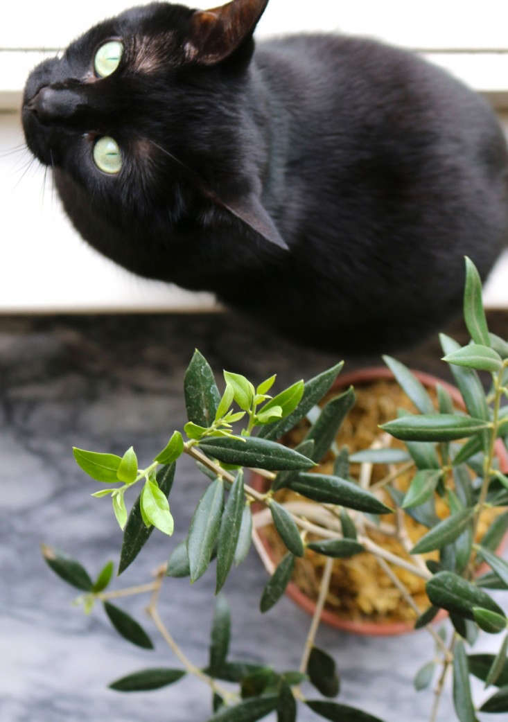 Black Cat and Indoor Olive Tree, Gardenista