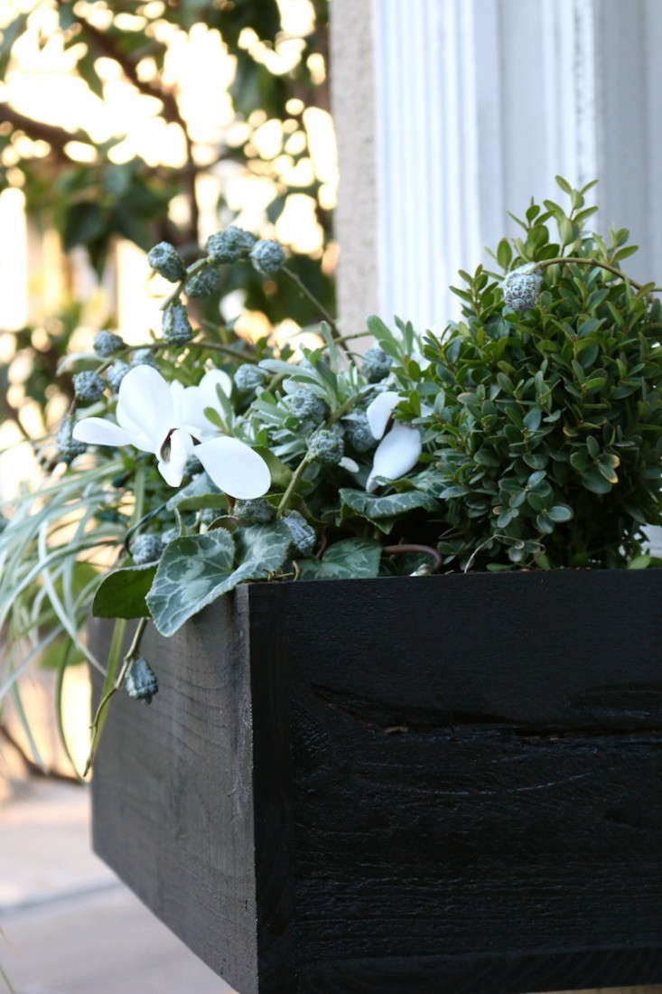Black Painted window boxes with White cyclamen for Christmas, Gardenista