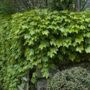 Boston-Ivy-Gardenista