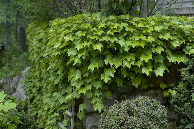 Boston-Ivy-Gardenista