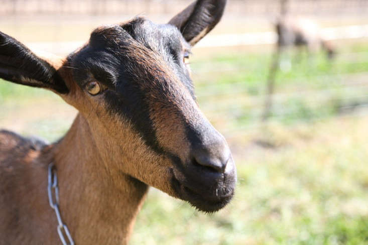 Brown and Black Milking Goat at Harley Farms in California, Gardenista