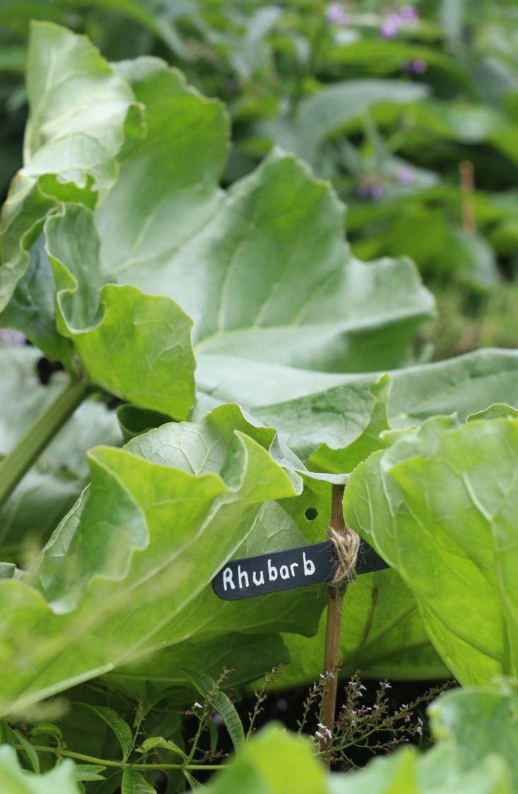 Cape-Town-garden-rhubarb-Gardenista