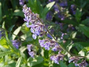 Catnip flower garden ; Gardenista