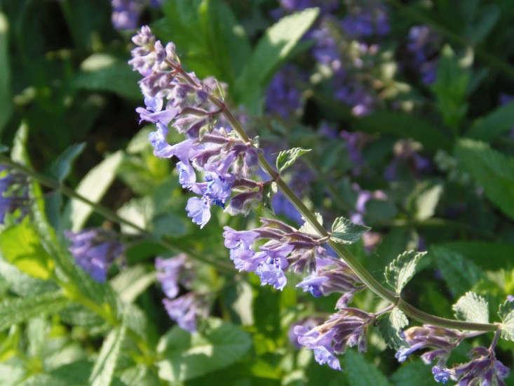 Catnip-flower-garden-gardenista