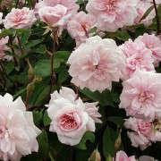 Cecile-Brunner-Rose-Gardenista