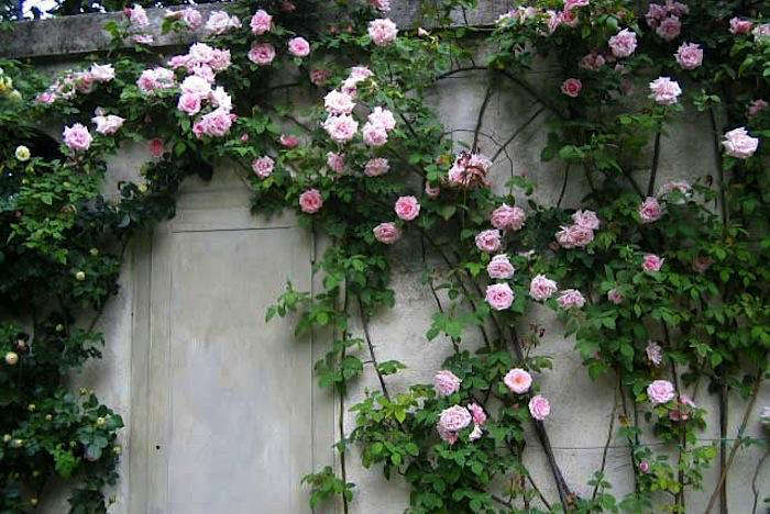 The 7 Best Climbing Roses For Your Garden Gardenista