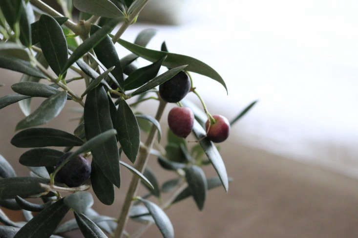 Close Up of Olives on Indoor Tree, Gardenista
