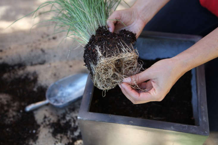 Container of the Week from Gardenista Loosening the Roots of Grasses for Planting