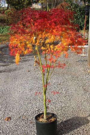 Acer Palmatum Dissectum Seiryu Gardenista
