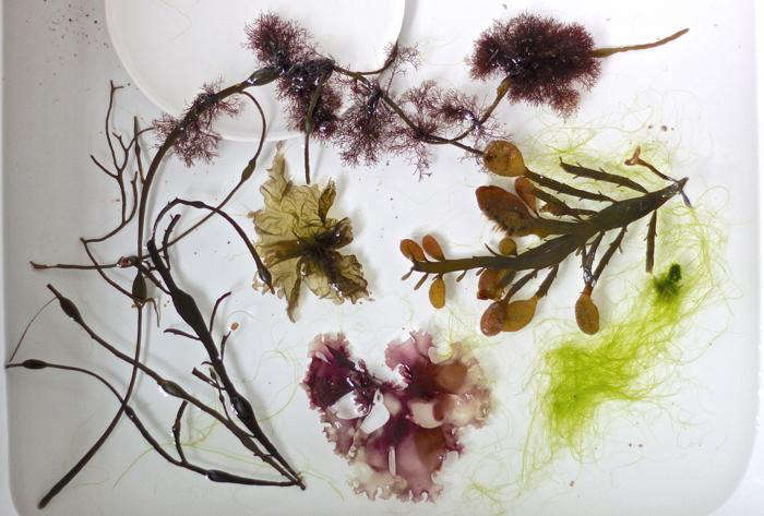 DIY seaweed prints, specimens